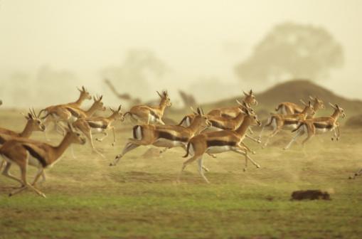 Gazelle「Thomson's gazelle running, Africa」:スマホ壁紙(6)