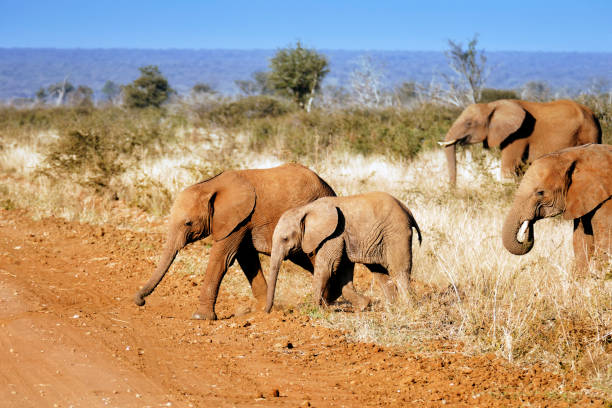 Young  African elephants covered with red sand crossing the dirt road in the Madikwe Game Reserve in South Africa:スマホ壁紙(壁紙.com)