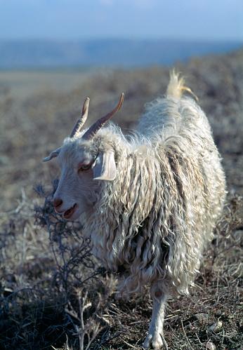 Goatee「Angora goat」:スマホ壁紙(17)
