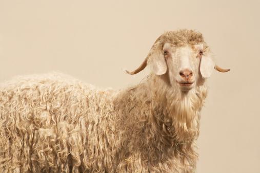 Goat「Angora goat」:スマホ壁紙(3)