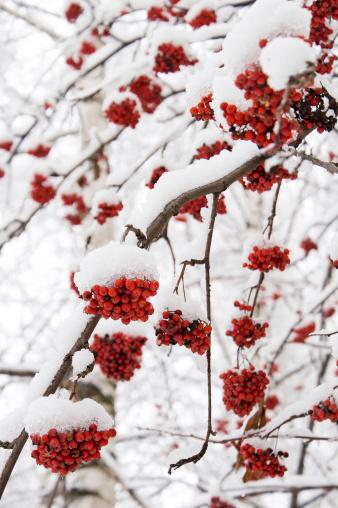 Rowanberry「Bunch Of Ashberry」:スマホ壁紙(9)