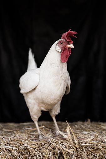 Hen「Leghorn Chicken Left angle」:スマホ壁紙(19)