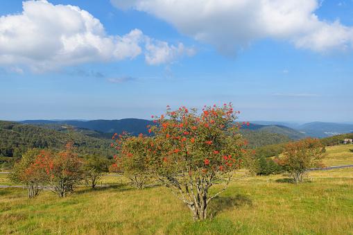 Rowan Tree「Rowan trees in mountain landscape, Le Hohneck, Stosswihr, Vosges, France」:スマホ壁紙(12)