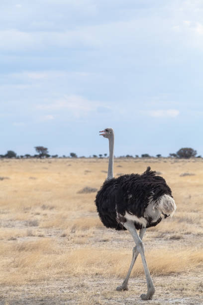 Ostrich, Etosha National Park, Namibia:スマホ壁紙(壁紙.com)