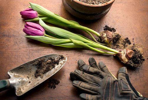 Protective Glove「Tulip planting scene」:スマホ壁紙(19)