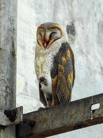Dethan Punalur「Barn Owl (Tyto alba)」:スマホ壁紙(16)