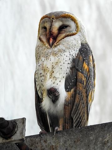 Dethan Punalur「Barn Owl (Tyto alba)」:スマホ壁紙(15)