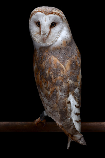 Waking up「Barn Owl」:スマホ壁紙(15)