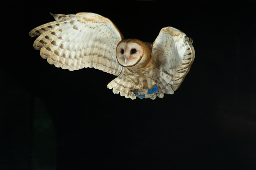 Pennsylvania「Barn Owl」:スマホ壁紙(7)