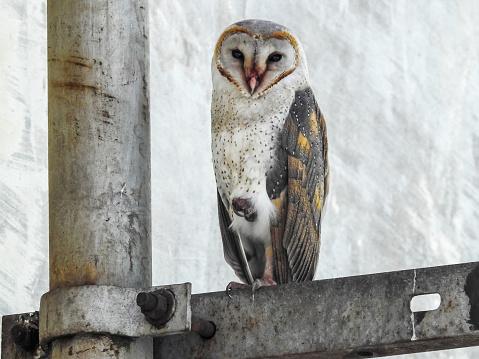 Dethan Punalur「Barn Owl (Tyto alba)」:スマホ壁紙(18)
