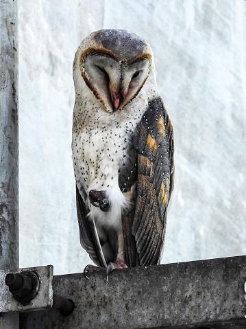 Dethan Punalur「Barn Owl (Tyto alba)」:スマホ壁紙(17)