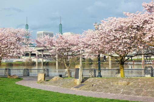 Cherry Blossoms「Portland Cherry Tree Blossom Waterfront.」:スマホ壁紙(11)