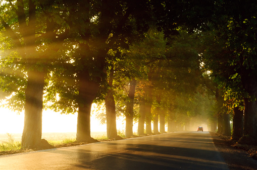 Chestnut Tree「Road lined with chestnut trees on a foggy morning」:スマホ壁紙(10)