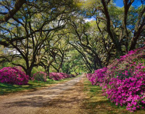 Gulf Coast States「road lined with Azaleas and Live Oak tree canopy, Louisiana」:スマホ壁紙(8)