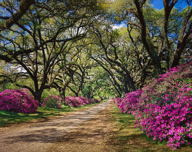 road lined with Azaleas and Live Oak tree canopy, Louisiana:スマホ壁紙(壁紙.com)