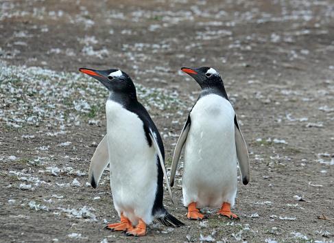 Falkland Islands「Two gentoo penguins on Saunders Island beach, Falkland Islands.」:スマホ壁紙(0)