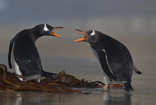 Falkland Islands「Two Gentoo Penguins squabbling」:スマホ壁紙(4)