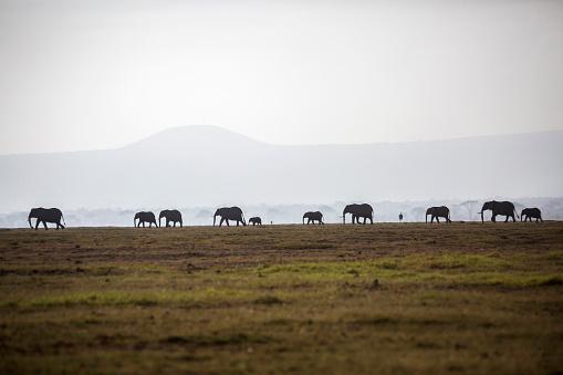 Elephant「Herd of elephants on plain in Amboseli National Park, Kenya」:スマホ壁紙(1)