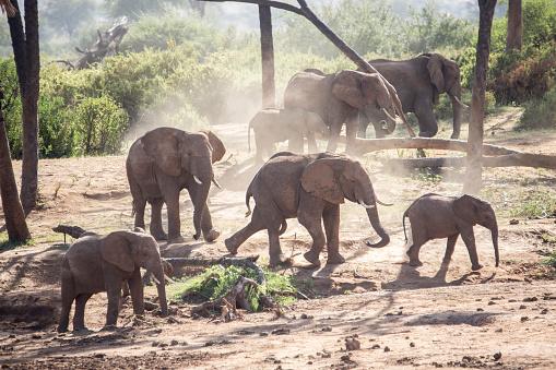 Elephant「Herd of elephants in Samburu National Reserve, Kenya」:スマホ壁紙(0)