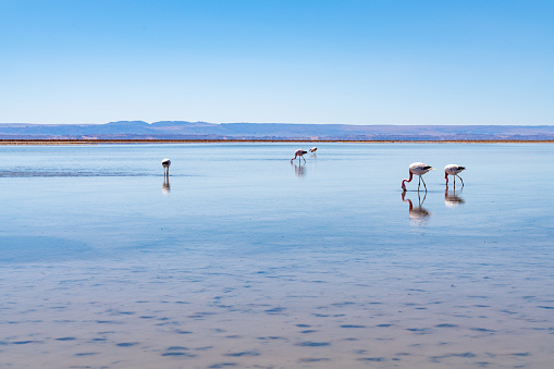 The Nature Conservancy「Wild Flamingos at Laguna Chaxa Park - San Pedro de Atacama, Antofagasta Region, Chile」:スマホ壁紙(5)