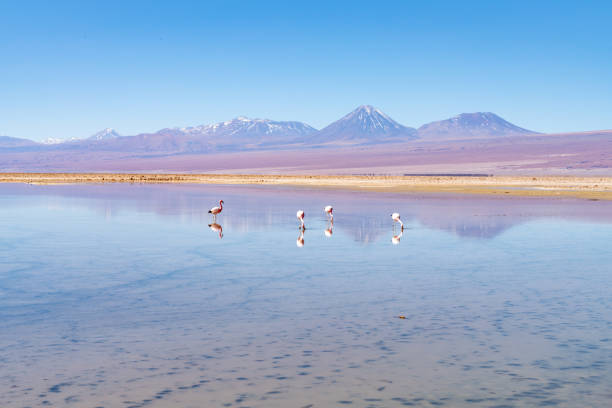 Wild Flamingos at Laguna Chaxa Park - San Pedro de Atacama, Antofagasta Region, Chile:スマホ壁紙(壁紙.com)
