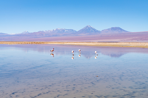 The Nature Conservancy「Wild Flamingos at Laguna Chaxa Park - San Pedro de Atacama, Antofagasta Region, Chile」:スマホ壁紙(5)