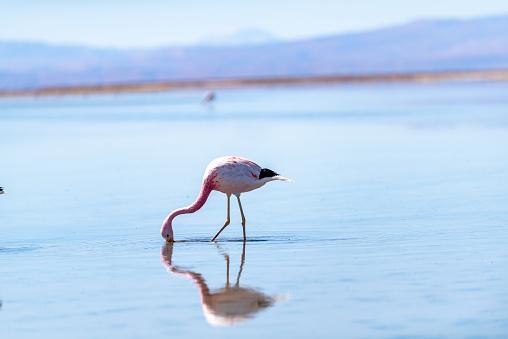 The Nature Conservancy「Wild Flamingos in Laguna Chaxa Park of atacama desert, San Pedro de Atacama, Chile」:スマホ壁紙(11)