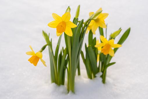 水仙「Spring Daffodil flowers amongst fresh powder snow」:スマホ壁紙(10)