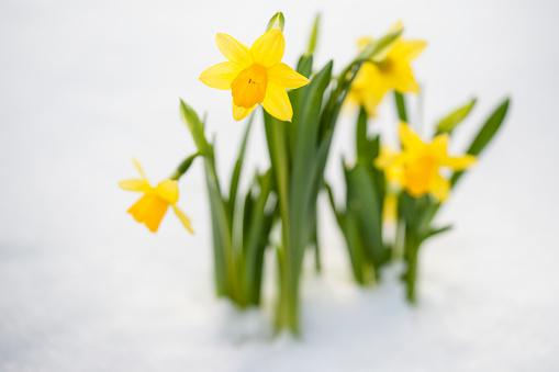 水仙「Spring Daffodil flowers amongst fresh powder snow」:スマホ壁紙(9)