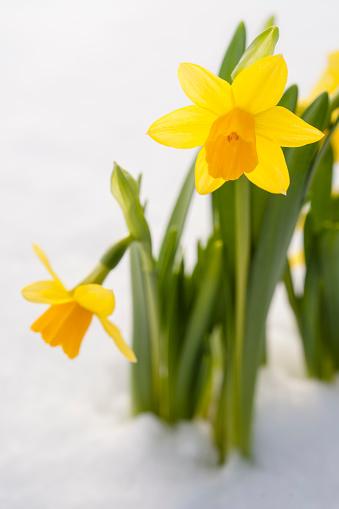 水仙「Spring Daffodil flowers amongst fresh powder snow」:スマホ壁紙(11)