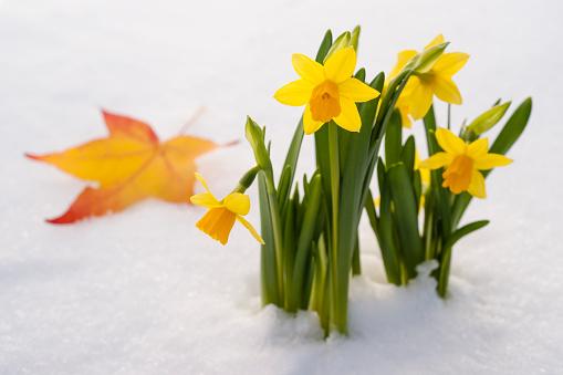水仙「Spring Daffodil flowers amongst fresh powder snow」:スマホ壁紙(8)