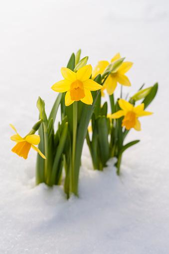 水仙「Spring Daffodil flowers amongst fresh powder snow」:スマホ壁紙(12)