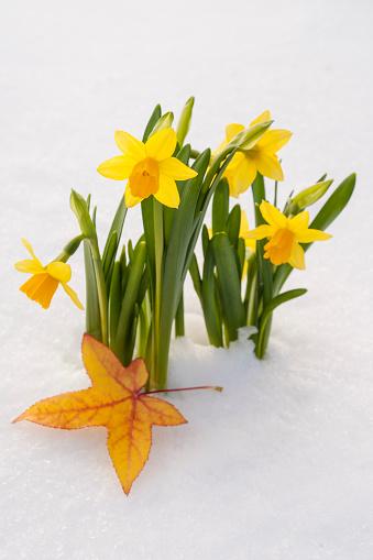水仙「Spring Daffodil flowers amongst fresh powder snow」:スマホ壁紙(7)