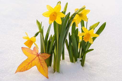 水仙「Spring Daffodil flowers amongst fresh powder snow」:スマホ壁紙(6)