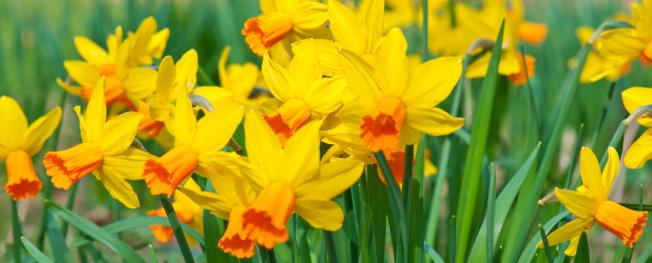 水仙「Spring daffodils」:スマホ壁紙(0)