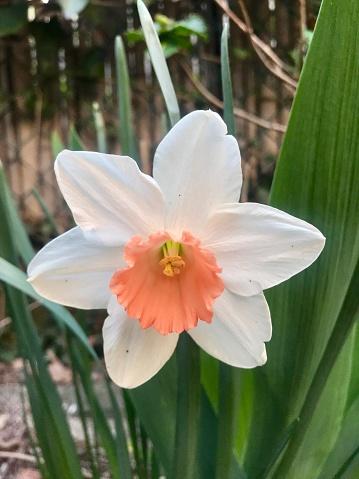 水仙「Spring daffodil」:スマホ壁紙(2)