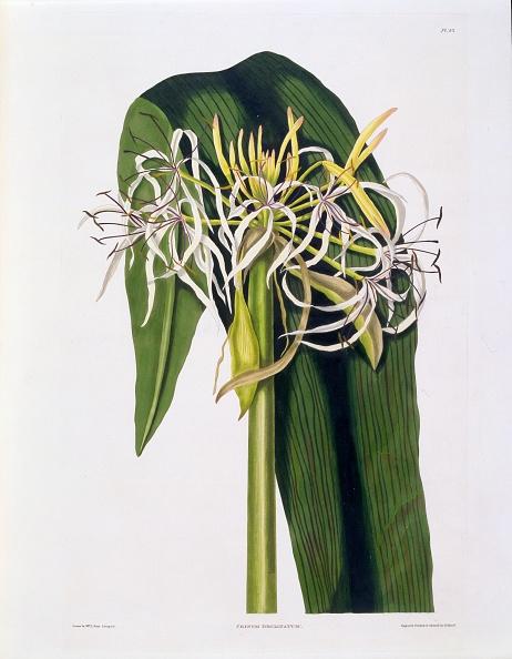 Stamen「Crinum Declinatum」:写真・画像(6)[壁紙.com]