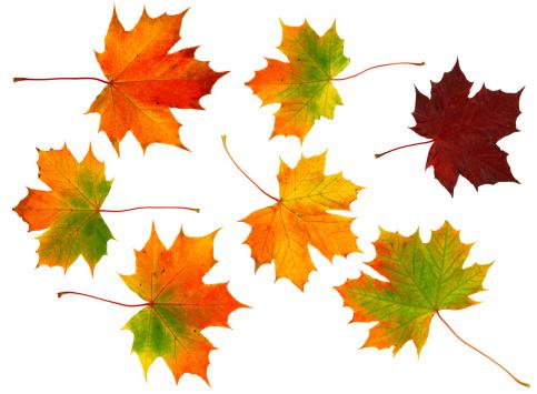 セイヨウカジカエデ「7 つの秋の葉」:スマホ壁紙(13)