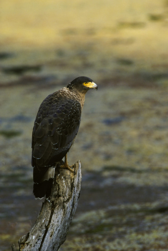Ranthambore National Park「Crested Serpent Eagle, Spilornis cheela, Ranthambhore National Park, India」:スマホ壁紙(10)