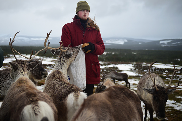 Reindeer「Britain's Only Reindeer Herd Prepare For Christmas In The Cairngorms National Park」:写真・画像(8)[壁紙.com]