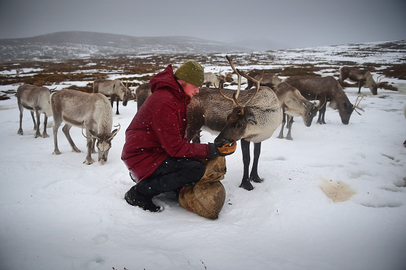 Reindeer「Britain's Only Reindeer Herd Prepare For Christmas In The Cairngorms National Park」:写真・画像(6)[壁紙.com]