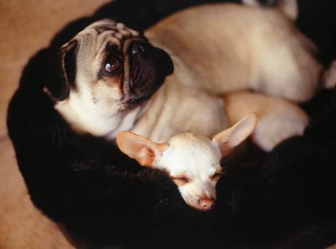 Animal Ear「Chihuahua and Pug in basket」:スマホ壁紙(4)