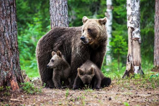 Bear Cub「Female european brown bear with cubs」:スマホ壁紙(15)