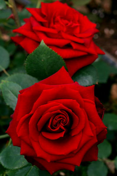 Rose - Flower「Flower Exports To Europe For Valentines Day」:写真・画像(16)[壁紙.com]