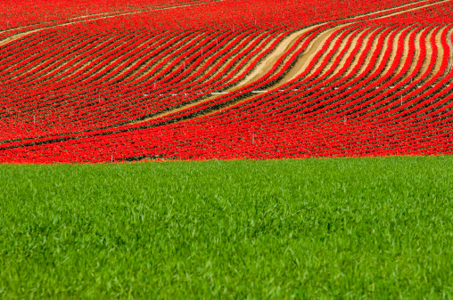 チューリップ「tulips farming Provence France」:スマホ壁紙(1)