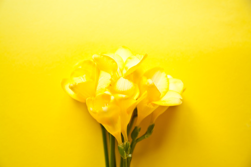 Iris Family「Yellow Freesia flowers on a yellow background」:スマホ壁紙(4)