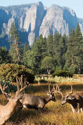 UNESCO「Mule deer (Odocoileus hemionus) bucks with large antlers, Yosemite National Park」:スマホ壁紙(2)