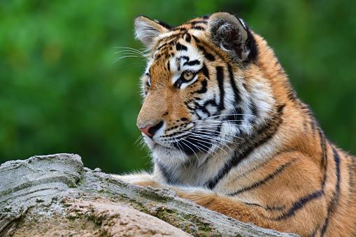 虎「虎の子」:スマホ壁紙(1)
