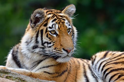 虎「虎の子」:スマホ壁紙(2)