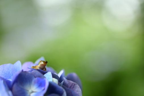 あじさい「Tree Toad on Hydrangea Flower」:スマホ壁紙(1)